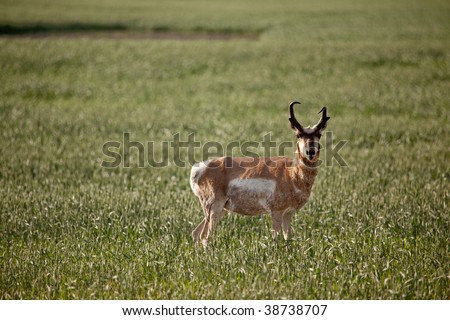 Pronghorn antelope in a field in rural Saskatchean. - stock photo