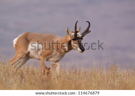 Pronghorn Antelope in a prairie environment; big game hunting montana - stock photo