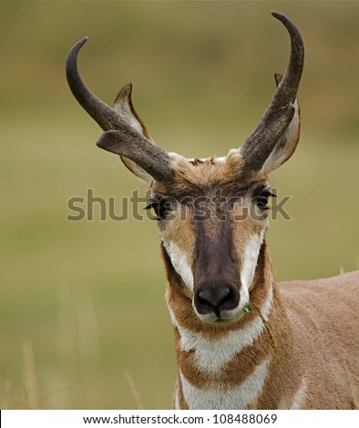 Pronghorn antelope on the Dakota Prairie - stock photo