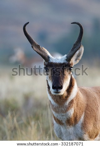 Pronghorn Antelope, portrait of a large buck with an out of focus female in the background behind him Antilocapra americana, the fastest mammal in North America