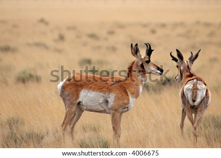 Pronghorn antelope, symbolic of the American West, shedding their winter coats in early spring. - stock photo