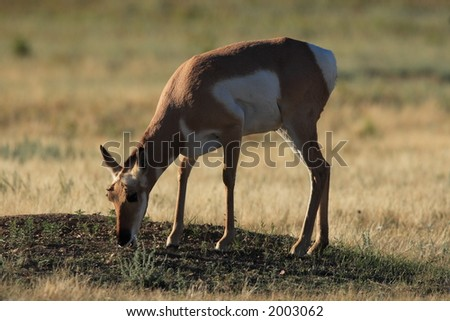 Pronghorn Antelope - Wind Cave National Park