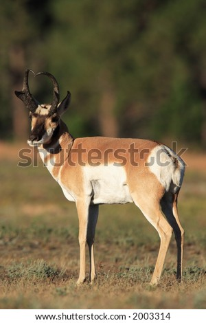 Pronghorn Antelope - Wind Cave National Park - stock photo