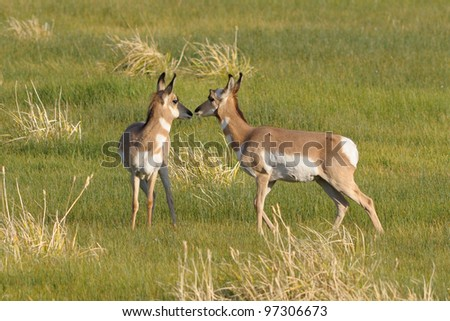 Pronghorn Antelopes grazing California - stock photo