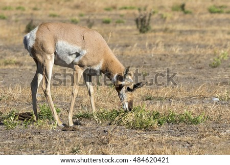 Pronghorn (Antilocapra americana) grazing in the highland prairie, Grand Teton National Park, Wyoming, USA