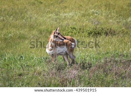 Pronghorn in Grand Teton National Park, Wyoming