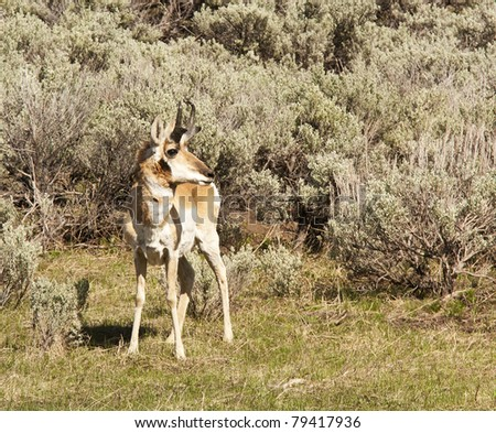 Pronghorn in Yellowstone National Park - stock photo