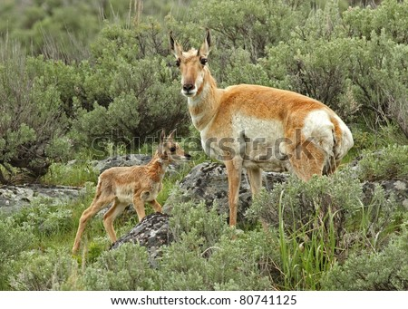 Pronghorn  Mom and Baby