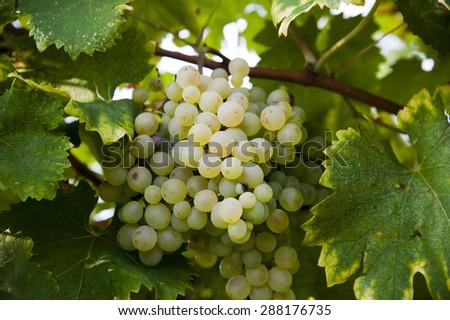 Prosecco White Bunch of Grape - stock photo