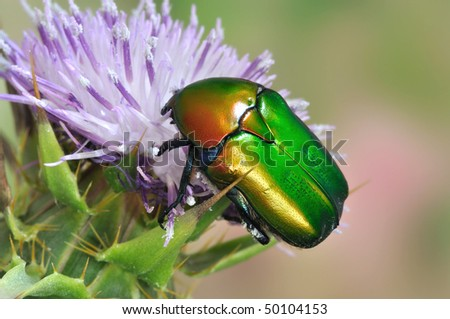 Protaetia (Potosia) cuprea ignicollis - stock photo