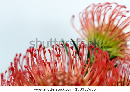 protea  - stock photo