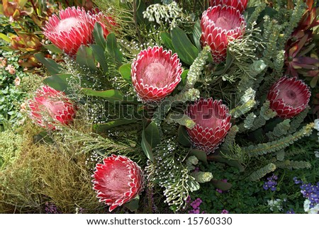 Protea display from South African display at Royal Horticulture Show - stock photo