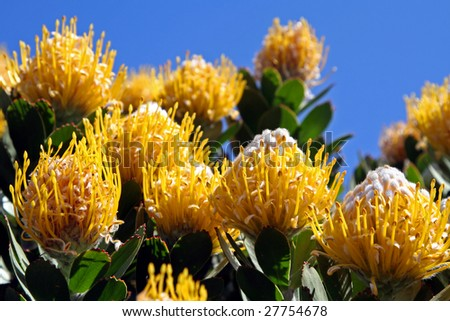 Protea, famous plant of South Africa - stock photo