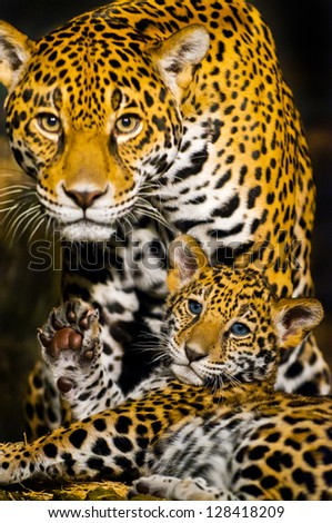 Protective Female Jaguar looking towards the camera while her little cub shows its paw - stock photo