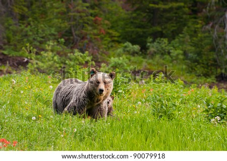 Protective looking mother brown bear with sub hiding behind. - stock photo