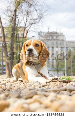 proud beagle dog lying on rocks in the park - stock photo