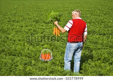 Proud carrot farmer picking fresh carrots for his basket - stock photo