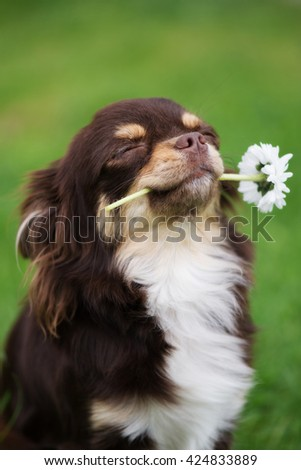 proud chihuahua dog holding a flower in mouth - stock photo