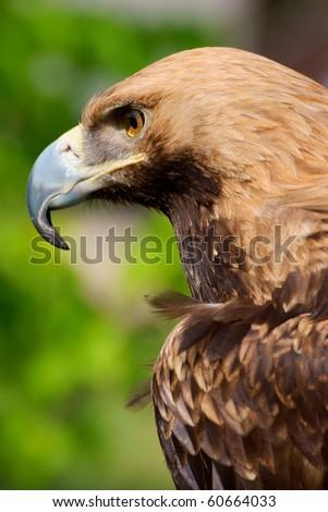 Proud eagle - stock photo