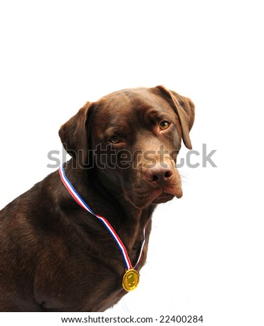Proud labrador wearing her prize medal