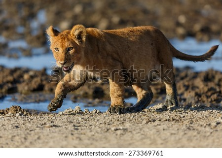 Proud Lion cub that has just crossed the river in the Serengeti, Tanzania - stock photo