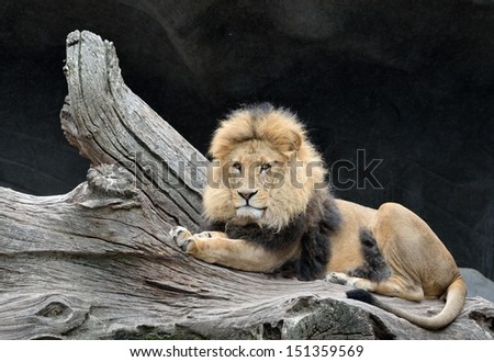 Proud lion lying next to branch - stock photo