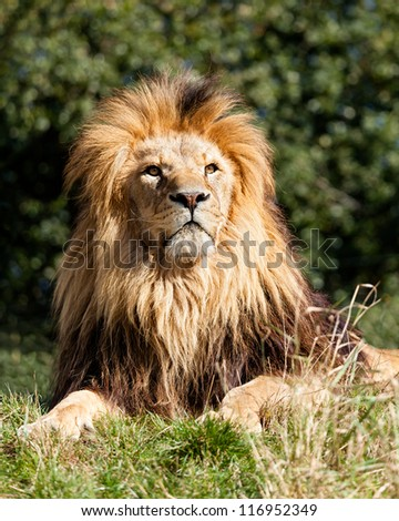 Proud Majestic Lion Sitting in Grass Panthera Leo - stock photo