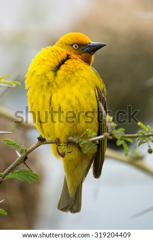 Proud male Cape Weaver bird sitting in a thorn tree - stock photo