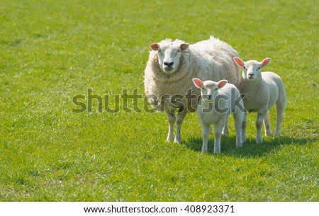 Proud mother with a thick winter fur presents her innocent looking newborn lambs standing on lush green grass on a sunny day at the beginning of spring season. - stock photo