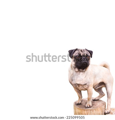 Proud Pug Dog Isolated on a White Background - stock photo