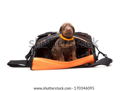 Proud Puppy in photografers bag, isolated on white - stock photo