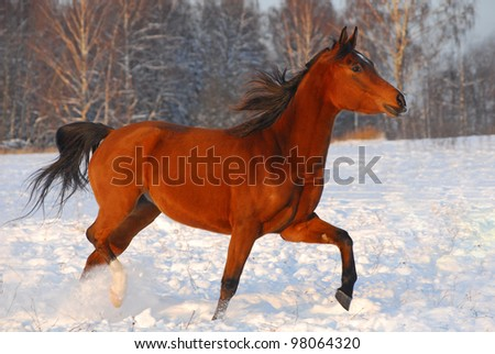 Proud red arabian horse on a snow-covered field in sunset light - stock photo