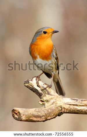 Proud red robin strikes a pose - stock photo