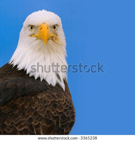 proud stare of american bald eagle perched against bright blue background in alaska - stock photo