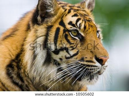 proud tiger - stock photo