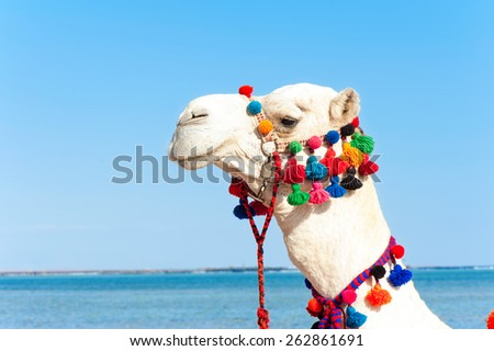Proud white camel head portrait on blue sky background. Camelus dromedarius. Summertime outdoors.