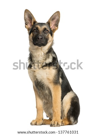 Proud young German shepherd sitting and looking away - stock photo