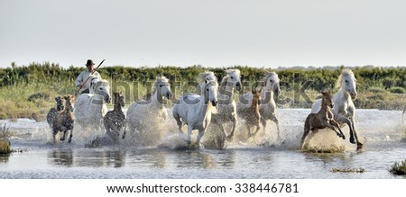 PROVENCE, FRANCE - 08 MAY, 2015: Herd of White Camargue Horses galloping through water swamps. Parc Regional de Camargue - Provence, France - stock photo