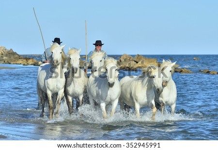 PROVENCE, FRANCE - 07 MAY, 2015: Riders and White horses of Camargue running through water.  Nature reserve in Parc Regional de Camargue.  - stock photo