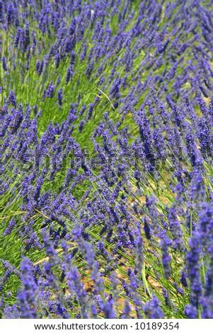 Provence lavender - stock photo