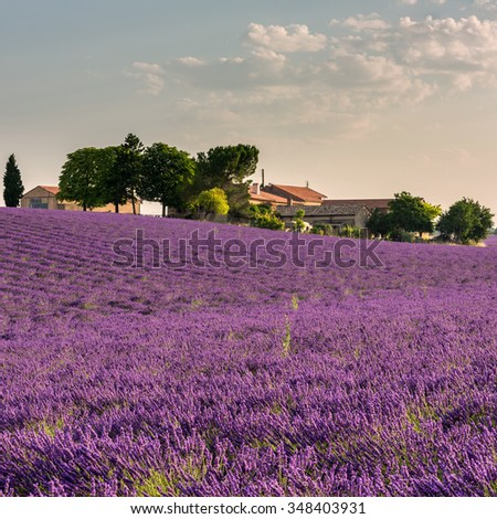 Provence lavender field and farm with green trees in the gentle light of morning. Plateau de Valensole, France
