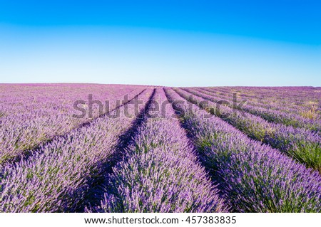 Provence, Lavender field at sunset, Valensole Plateau