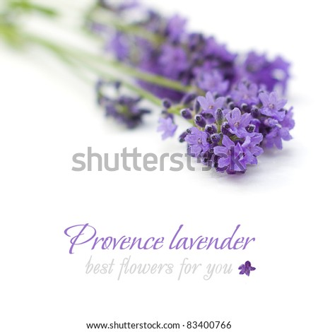 Provence lavender flower on white background - stock photo