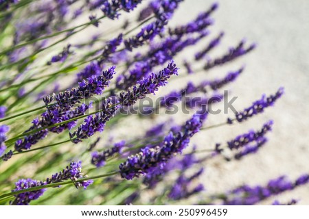 Provence Region, France. Lavander field at end of June - stock photo