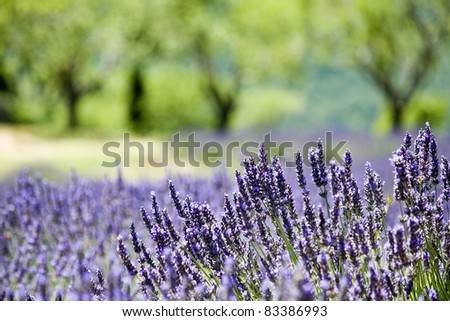 Provence, typical landscape.Lavender field. France - stock photo