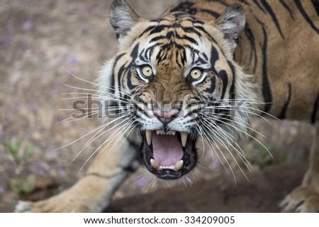 Provoked Sumatran Tiger - stock photo