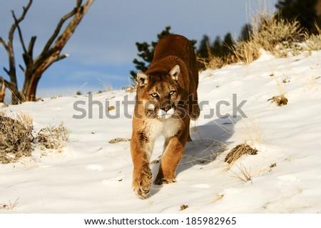 Prowling Mountain Lion - stock photo