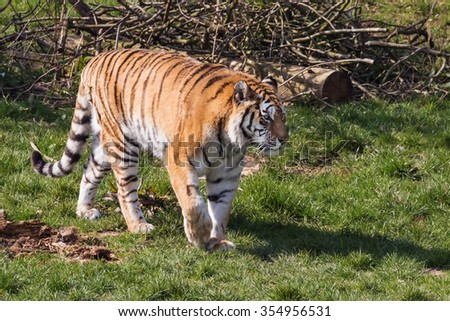 Prowling tiger. A beautiful tiger is seen prowling through woodland. - stock photo