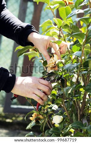 prune a tree with shears - stock photo