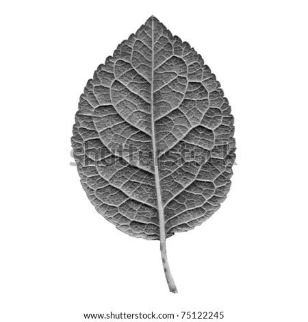 Prune tree leaf - isolated over white background - back side